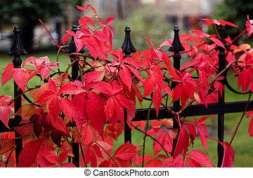 autumn colors - red vine - autumn colors