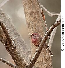 House Finch (Carpodacus mexicanus) - House finch (carpodacus...