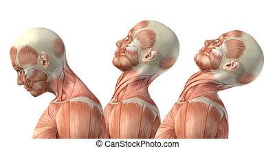 3D male medical figure showing cervical flexion, extension...