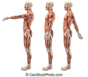 3D medical figure showing shoulder flexion, extension and hyperextension