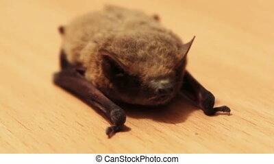 The bat lies on the ground - Little gray bat lays and...