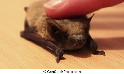 The bat lies on the ground, a man stroking her finger -...