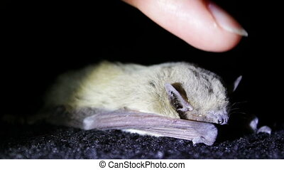 Bat night lying on the ground and a man stroking her finger....