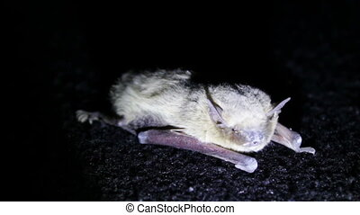 Bat night lying on the ground. - Little gray haired bat...