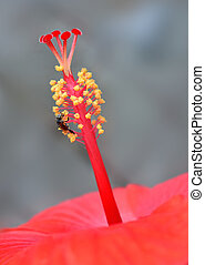 Hibiscus Pistil - Red hibiscus flower pistil with bee