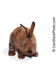 Red rabbit on white background