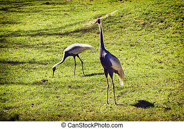 Pair of White-naped Cranes (Grus vipio) - The White-naped...