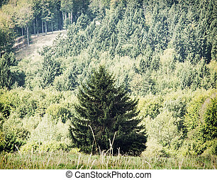 Lone picea abies tree in front of the forest - Picea abies...
