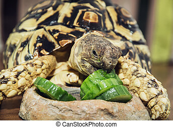 Leopard tortoise Geochelone pardalis eating cucumber Animal...