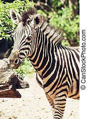 Portrait of hartmanns mountain zebra Equus zebra hartmannae...