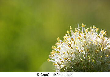 Wild onion flower on green background closeup - Wild onion...