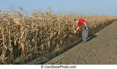 Farmer in corn field before harvest - Farmer or agronomist...