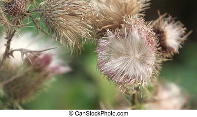 Dry flower thistle flower - Dead Headed Thistle flowers in...