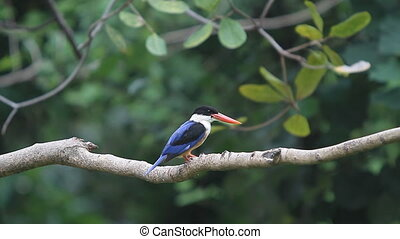 Black-capped Kingfisher in nature
