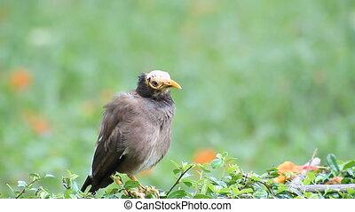 Bird Common Myna