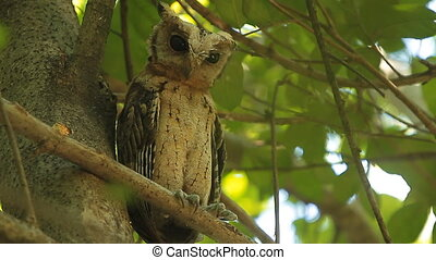 Owl Spotted owlet nature