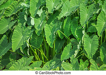 Taro leaf green - Giant taro plant in lush jungle