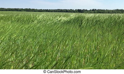 Sea rye - Green rye sways in the wind in a good sunny day...