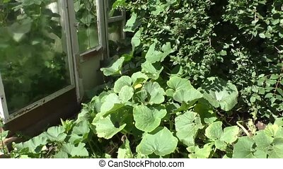 Pumpkin grows on a Bush Jasmine about wooden greenhouses