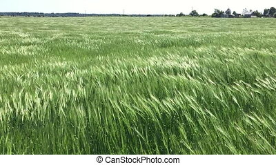 Sea rye - Green rye sways in the wind in a good sunny day....