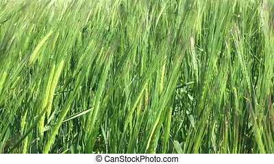 Green rye sways in the wind lose-up - Green rye sways in the...