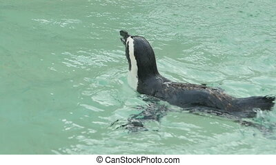 Penguin swimming - Magellanic penguin swimming, slow motion