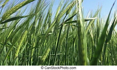 Green rye sways in the wind ?lose-up