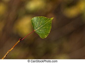 poplar leaf - Beautiful autumn poplar leaves on a branch in...