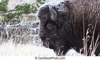 Bull Bison Portrait - a close up portrait of a bull bison on...