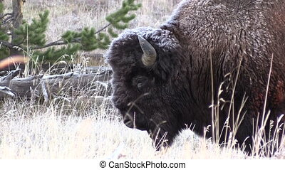 Bull Bison Zoom Out - a zoom out on a bull bison on a frosty...