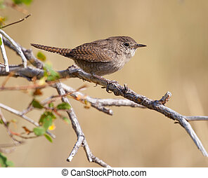 House Wren Perched on a Branch - House Wren (Troglodytes...