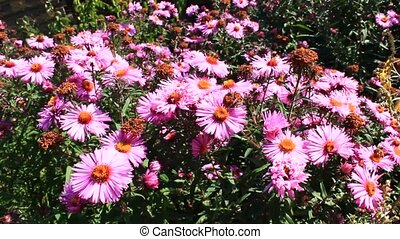 butterfly on the asters - butterfly on the beautiful and...
