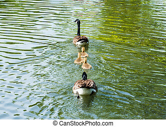 Family of Canada Geese swimming away - Family of two adult...
