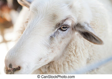 Close up of sheep face in county fair, Los Angeles,...