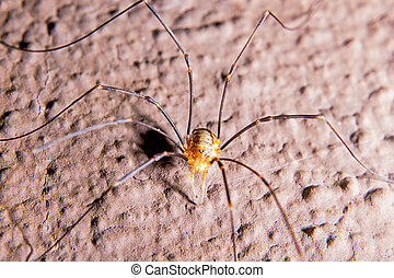 Harvestmen has long legs