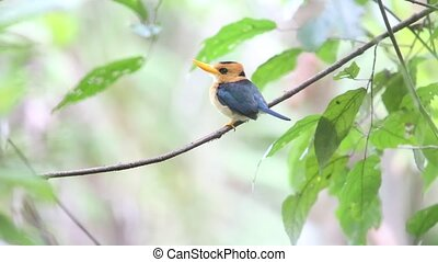 Yellow-billed Kingfisher Syma torotoro in Papua New Guinea