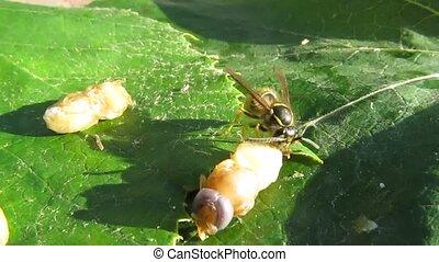 Wasp - predator - The wasp larva eats
