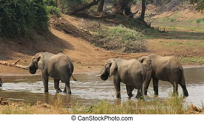 African elephants in river - Large African bull elephants...