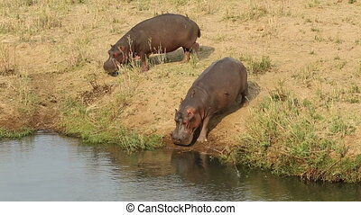 Hippopotamus entering water - Two hippos (Hippopotamus...