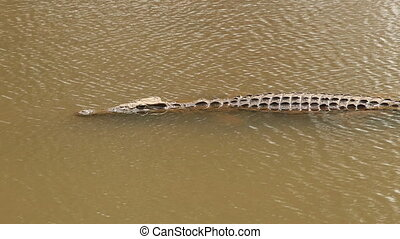 Nile crocodile in water - A Nile crocodile (Crocodylus...