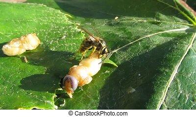 Wasp - predator. - The wasp larva eats.