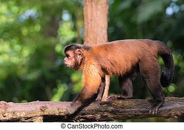 Brown capuchin monkey clamber on wooden log with green...