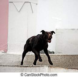 Dog barking - View of a domestic dog barking and running...