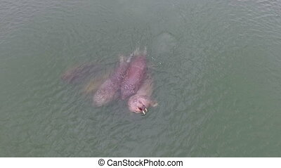 several walruses swim in the sea, aerial view
