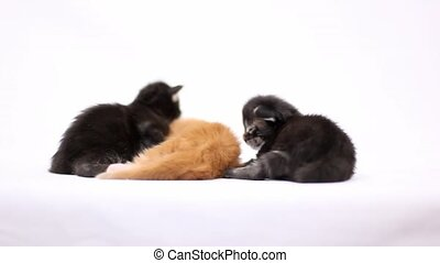 newborn kittens Maine Coon on white background 1920x1080