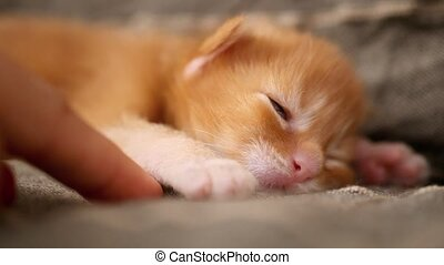 newborn kitten red Maine Coon sleeps and human finger...