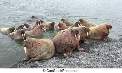 Walrus rookery aerial shot, Russia