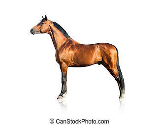 Purebred arabian stallion over a white background - Bay...