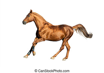 Golden chestnut horse isolated