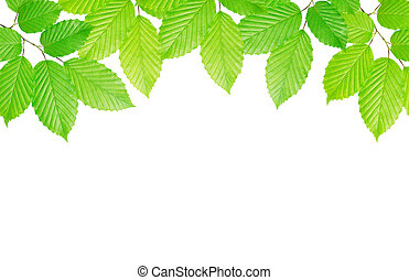 hornbeam leaves background - hornbeam leaves isolated on...